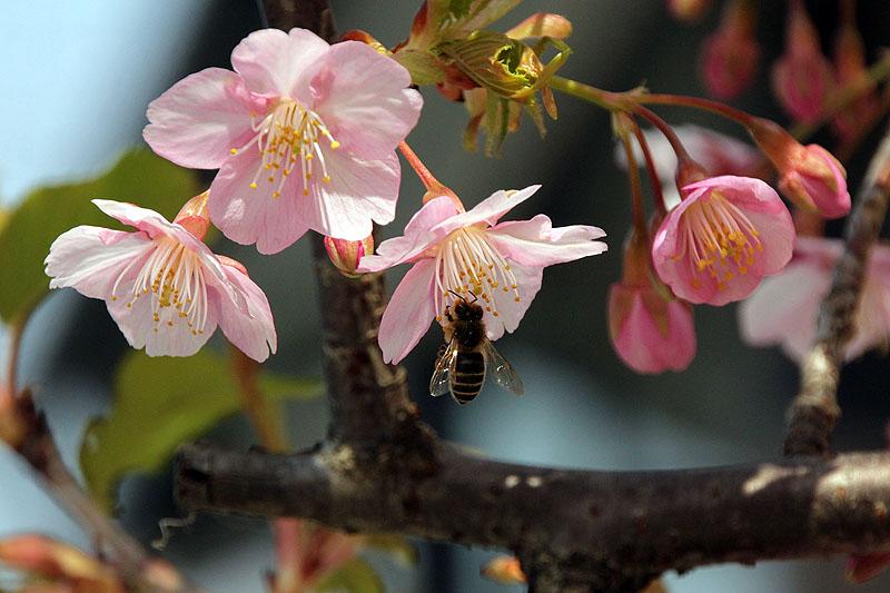 Cherrly Blossom (Sakura)